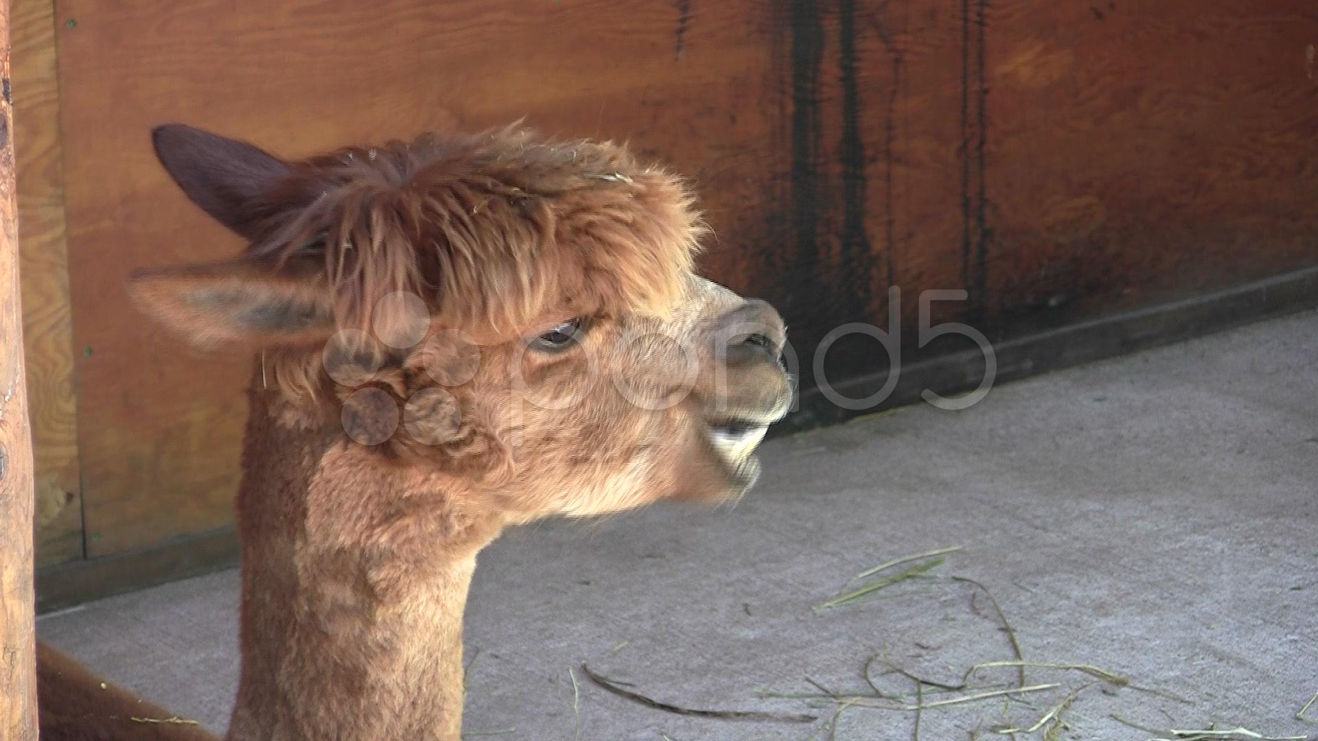 008156858-alpaca-chewing