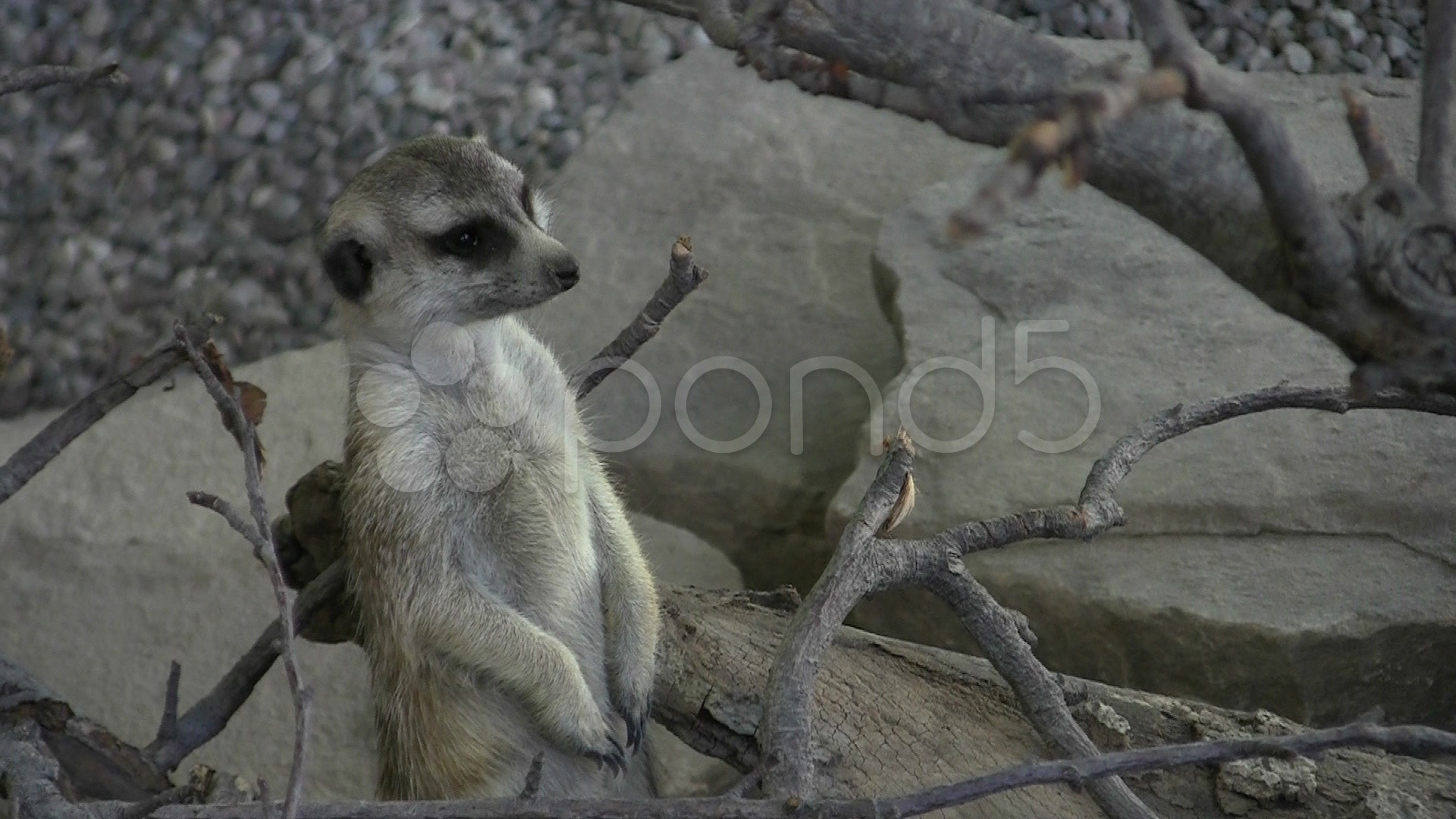 008193368-meerkat-sentry-looking-around